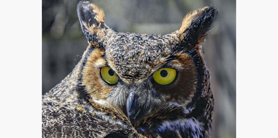 Horned owls are native to the Chicago area.