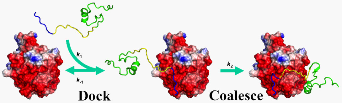 The Zhou group theoretically studies disordered proteins.