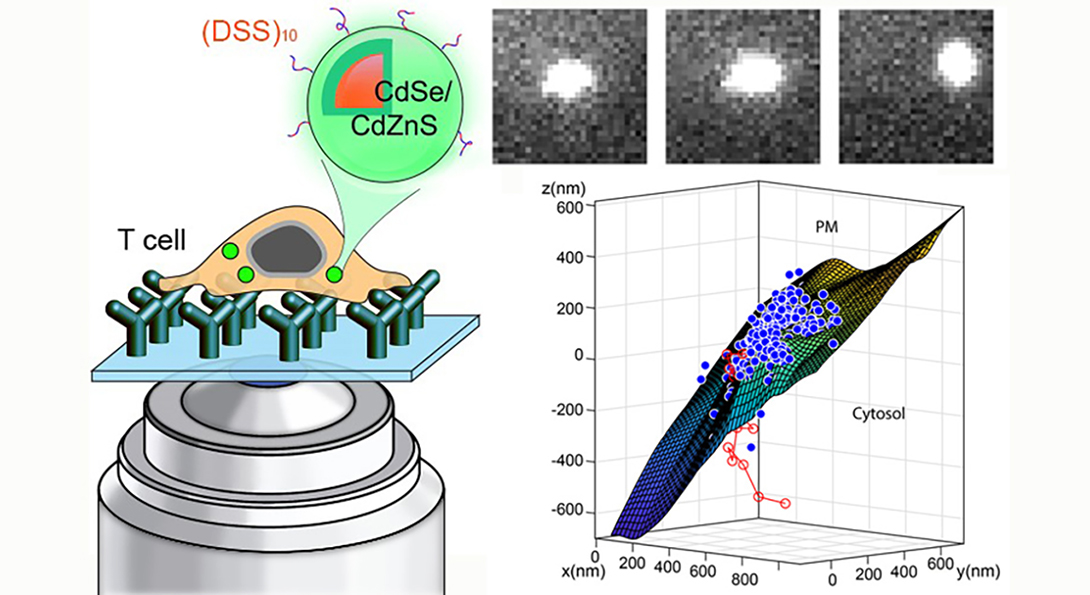 The Hu group has reported quantum dot delivery into live T-cells.