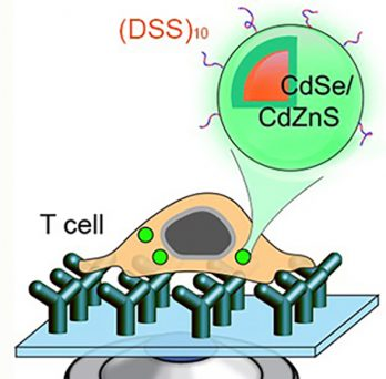 Quantum dot internalization into T-cells has been reported for the first time by the Hu group!