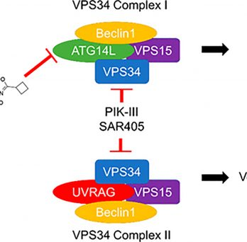 The Aldrich group's reserach into autophagy has been published in JACS.